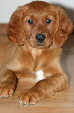 Red golden retriever puppies wisconsin